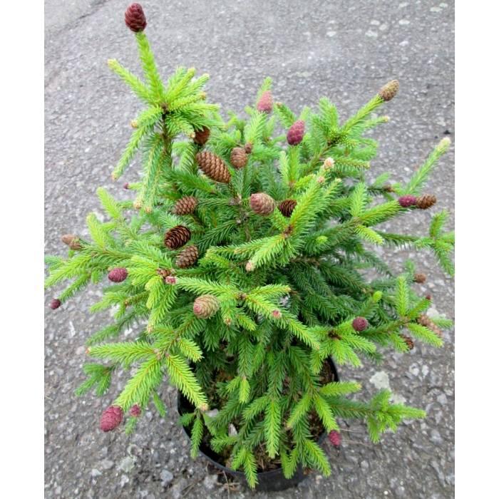 Picea Abies Acrocona Pusch Zakrslý Smrk Ztepilý Zahradnictví